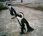 Cape Town Penguins 1